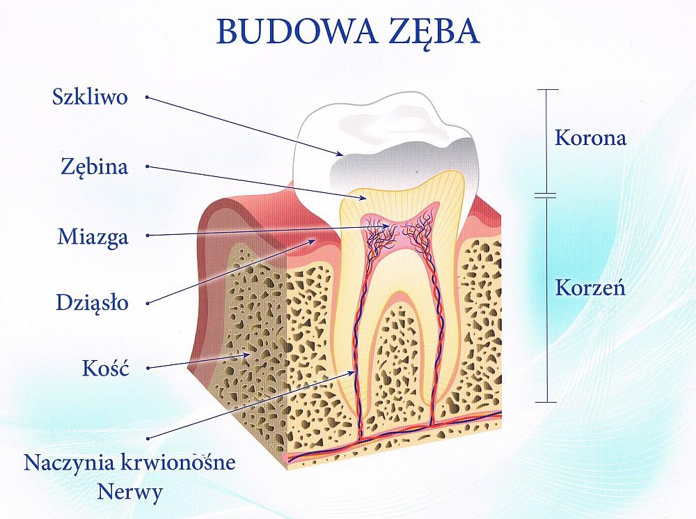 budowa_zęba