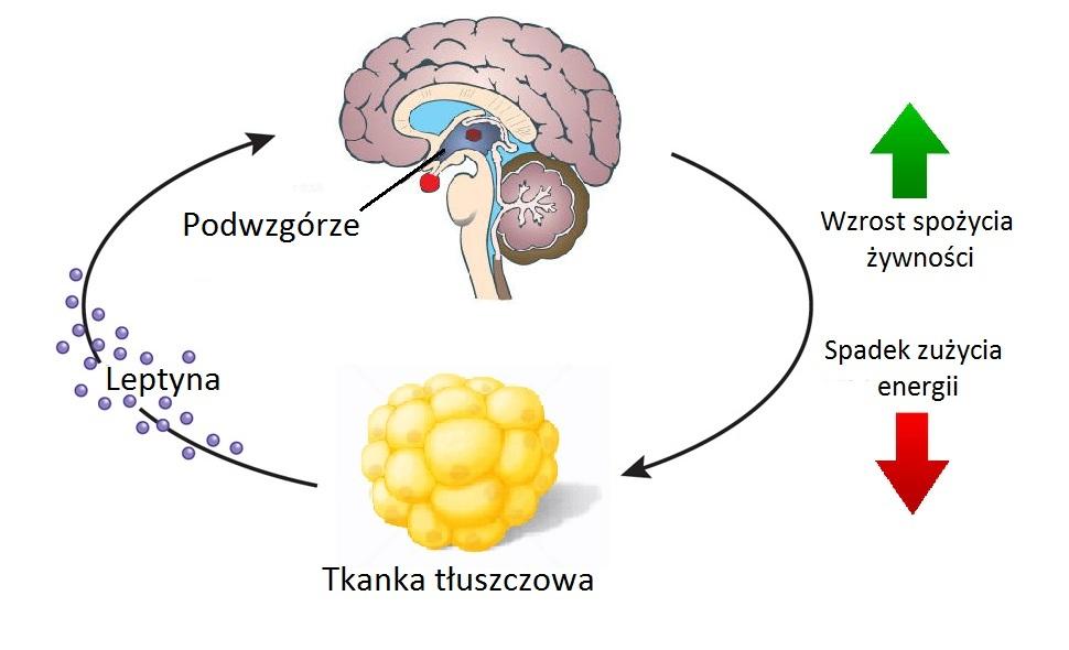 """Leptynoopornością nazywamy położenie, w którym mózg """"nie reaguje"""" na leptynę"""