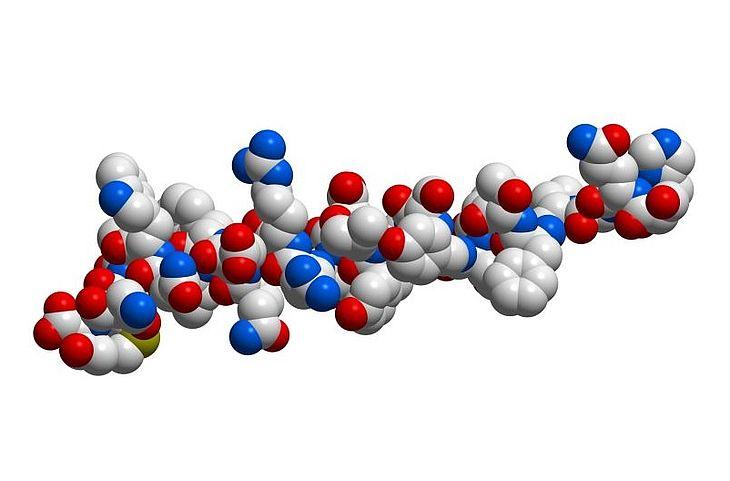 """Glukagon należy do hormonów polipeptydowych produkowanych i wydzielanych przez komórki wysp trzustkowych. W przeciwieństwie do insuliny, podwyższa on stężenie cukru we krwi. Można go nazwać hormonem """"głodu"""" ponieważ jego wydzielanie jest zwiększone, gdy mamy dłuższe przerwy między posiłkami, a poziom cukru zaczyna się obniżać do wartości około 70 mg/dl."""